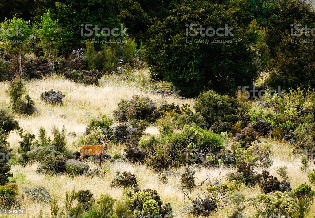 Red Deer in New Zealand stock photo