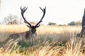 Red Deer in Richmond Park