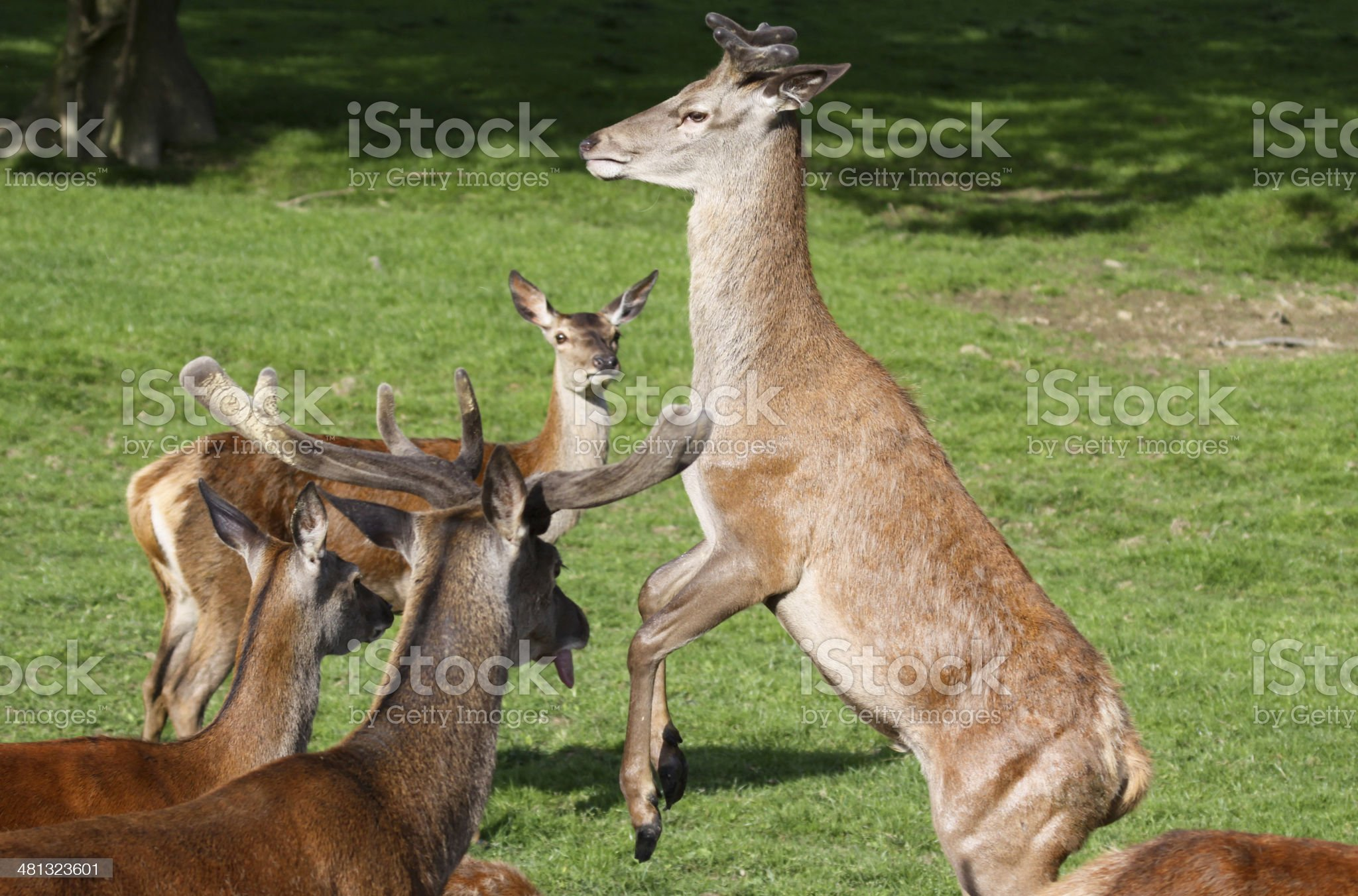 Red Deer in Surrey, England royalty-free stock photo