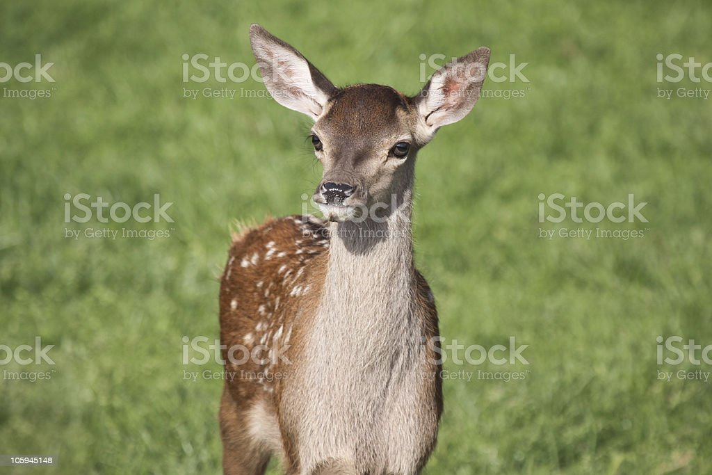 Red Deer in Surrey, South East England royalty-free stock photo