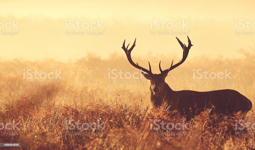 Red deer in the mist stock photo