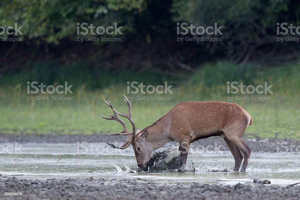 Red deer in the water stock photo