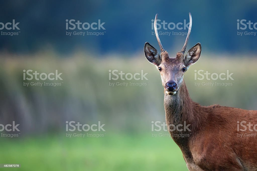 Red deer in the wild stock photo