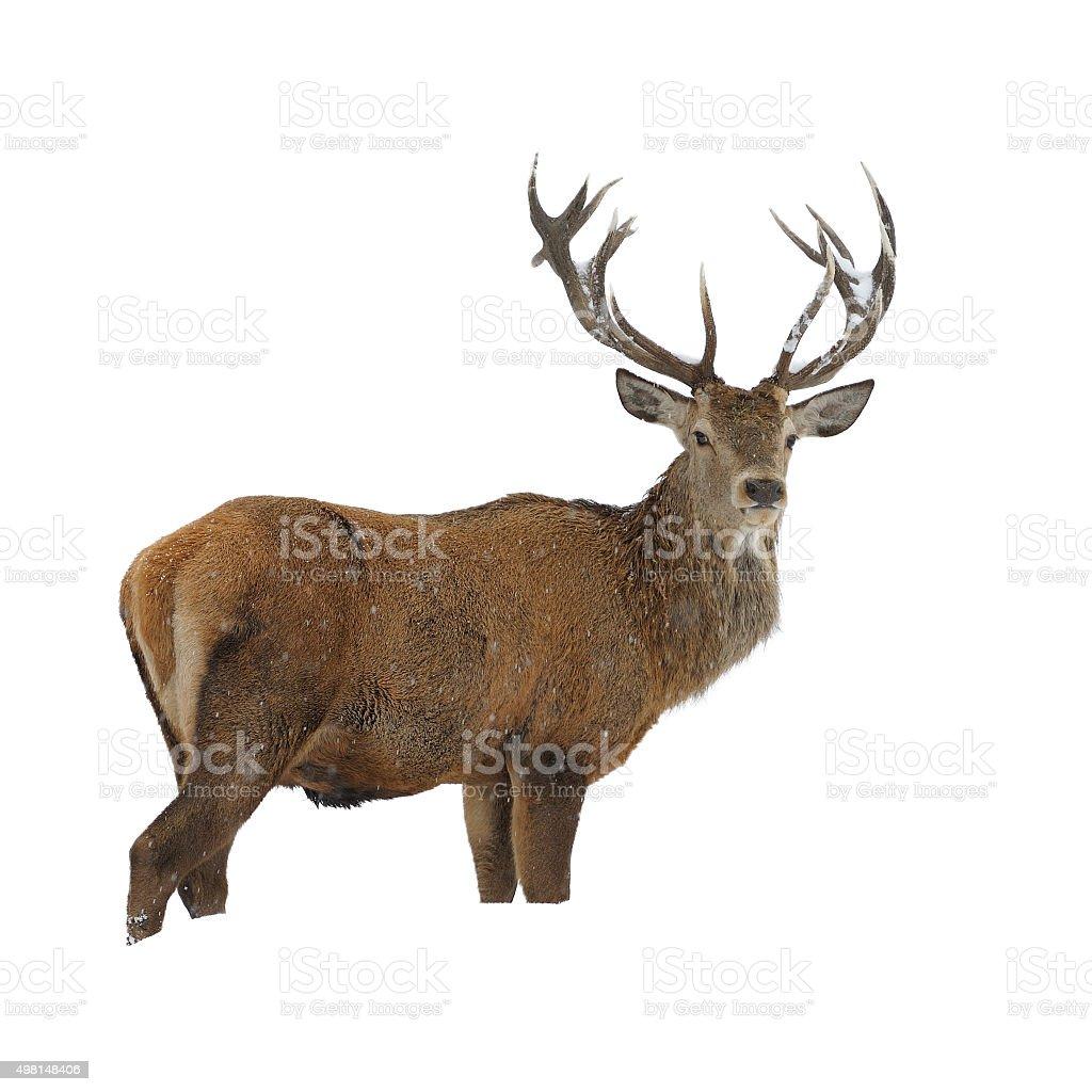 Red deer in winter snow stock photo