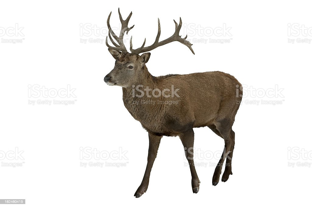 Red Deer Isolated On White stock photo
