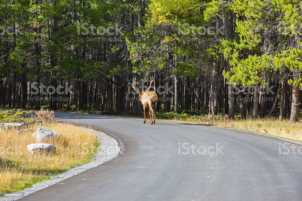 Red deer leisurely out into the woods stock photo