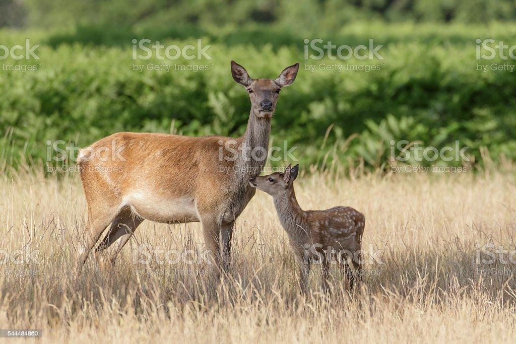 Red Deer (Cervus elaphus) mother and calf stock photo