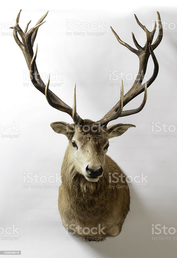 Red Deer, New Zealand, Taxidermy Mount stock photo