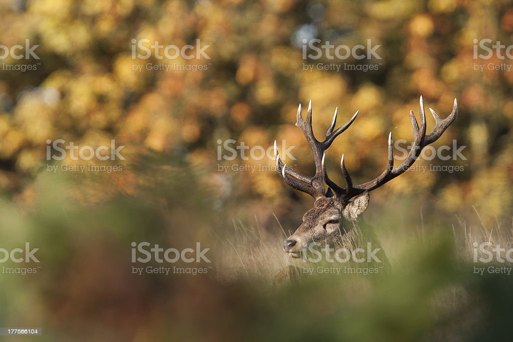Red Deer royalty-free stock photo
