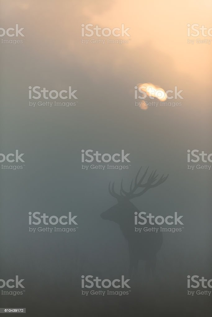 Red Deer (Cervus elaphus) stock photo