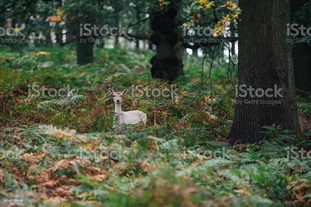 Red Deer stock photo