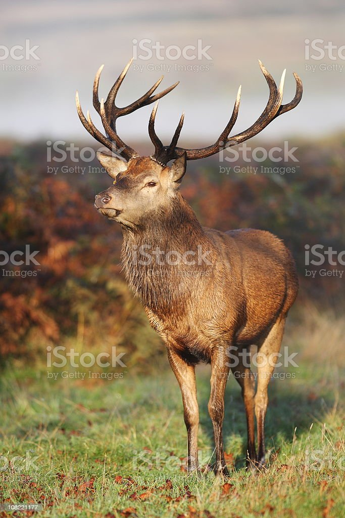 Red Deer Portrait royalty-free stock photo