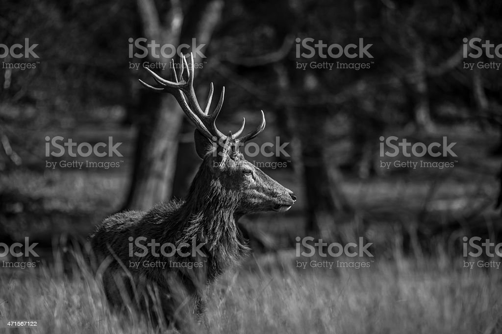 Red deer profile stock photo