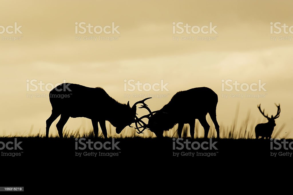 Red Deer rutting in the sunset stock photo