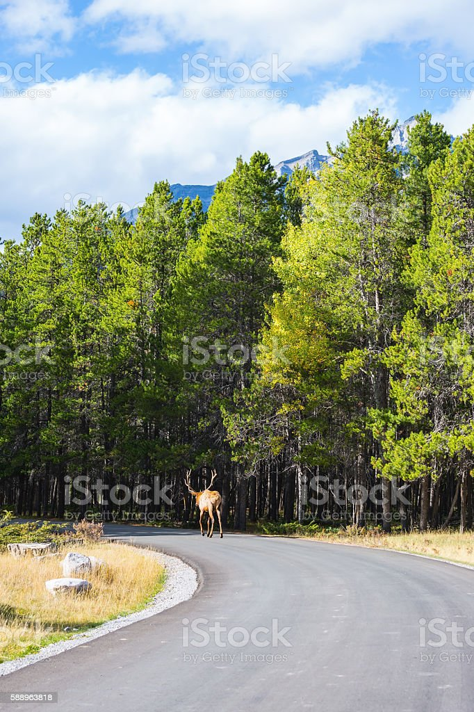Red deer slowly goes into the woods stock photo