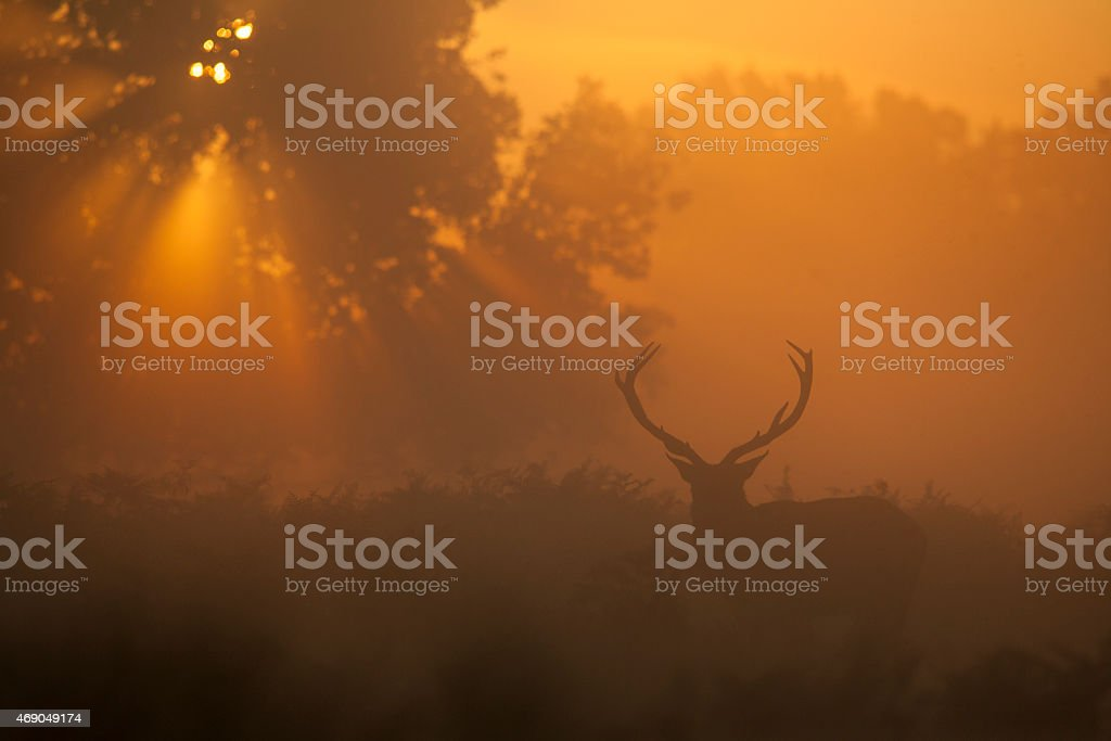 Red deer stag at sunrise stock photo