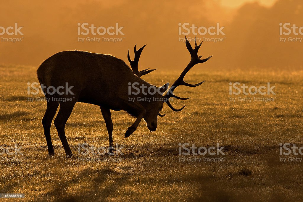 Rutting stag pawing the ground stock photo