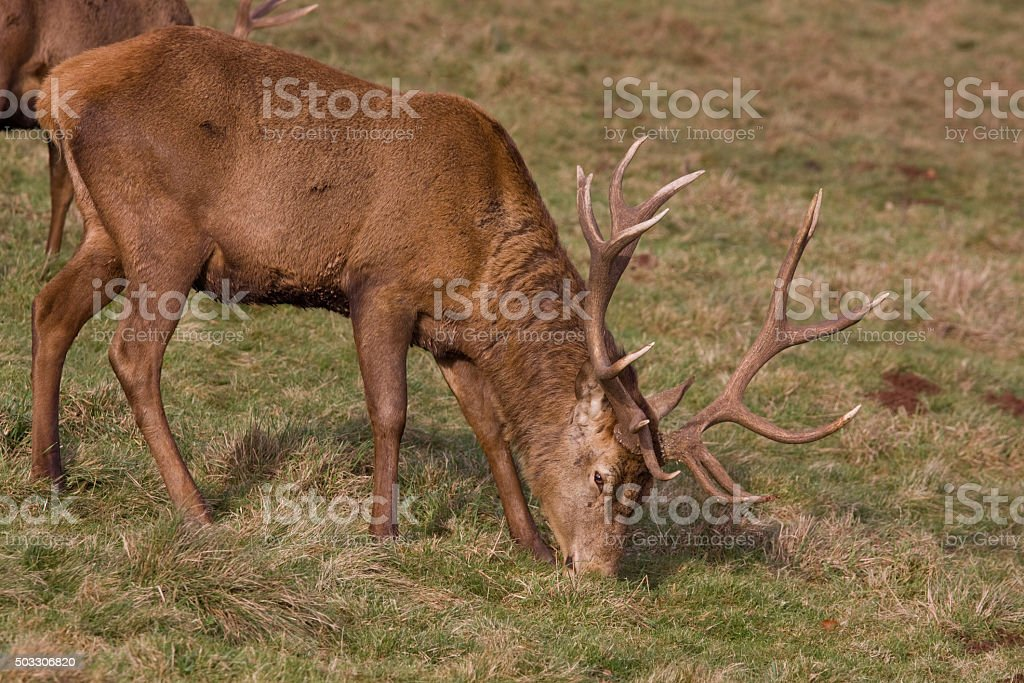 Red Deer stag grazing on winter pasture land in UK stock photo