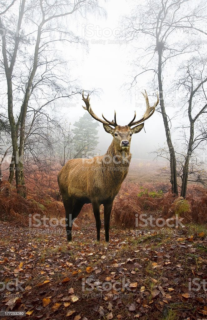 Red deer stag in foggy Autumn forest stock photo