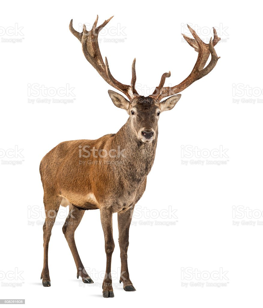 Red deer stag in front of a white background stock photo