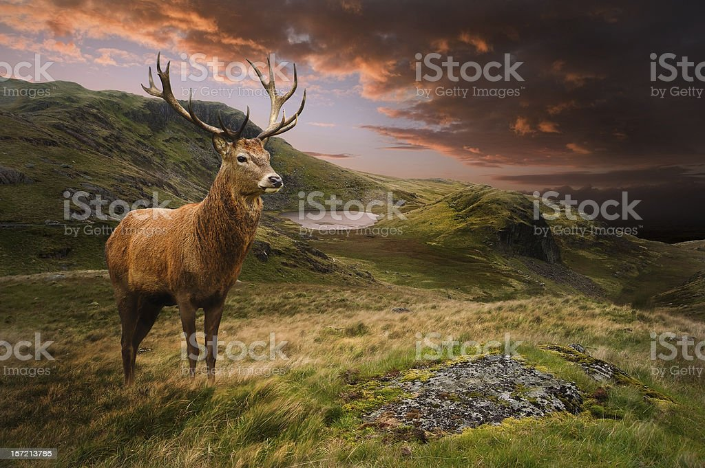 Red deer stag in moody dramatic mountain landscape stock photo