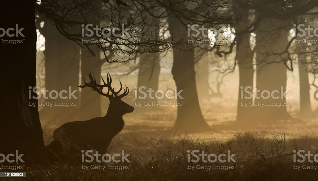 A red deer stag in the forest at dusk stock photo