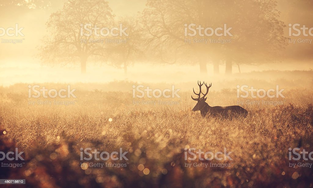 Red Deer Stag in the golden mist stock photo