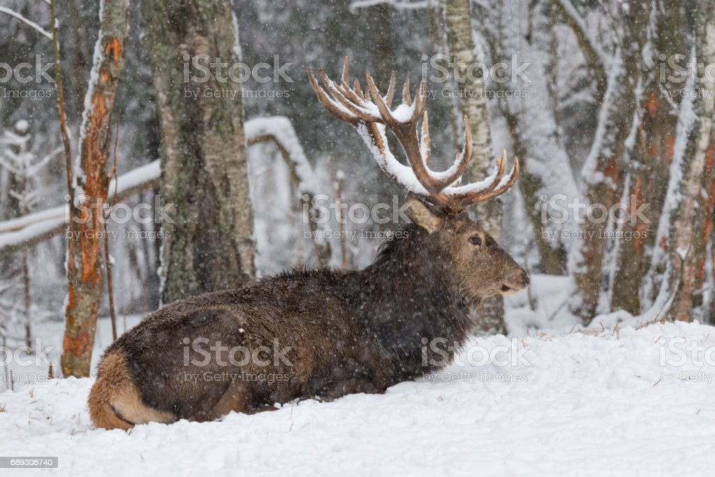 Red Deer Stag (Cervus elaphus) in  Winter Snow. Adult noble deer with large horns covered with snow, resting in a snow-covered forest.  Deer under the snow.The trophy antlered stag in the snow. stock photo