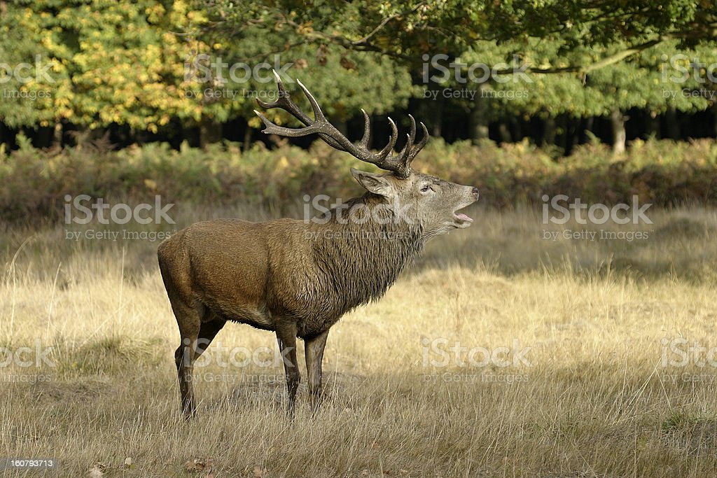 Red Deer  Stag royalty-free stock photo