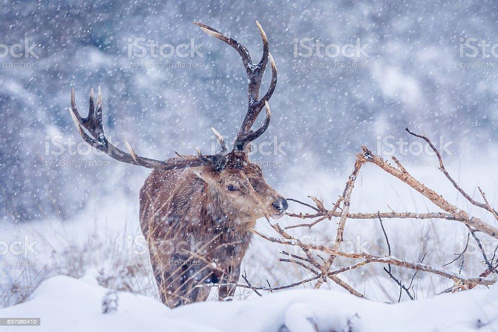 Red Deer Stag (Cervus elaphus) stock photo