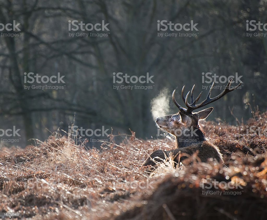 Red deer stag portrait in Autumn Fall forest landscape royalty-free stock photo