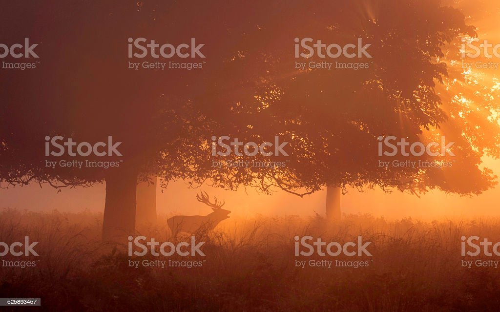Red deer stag roaring at the dawn! stock photo