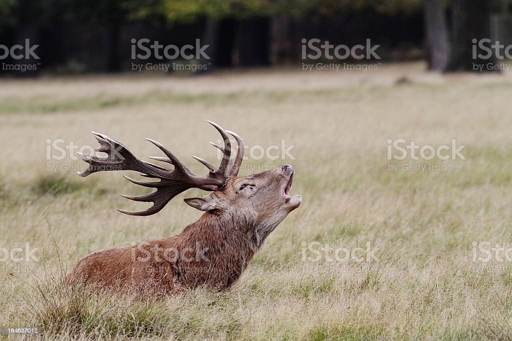 Sitting red deer stag on rutting ground roaring bellowing royalty-free stock photo