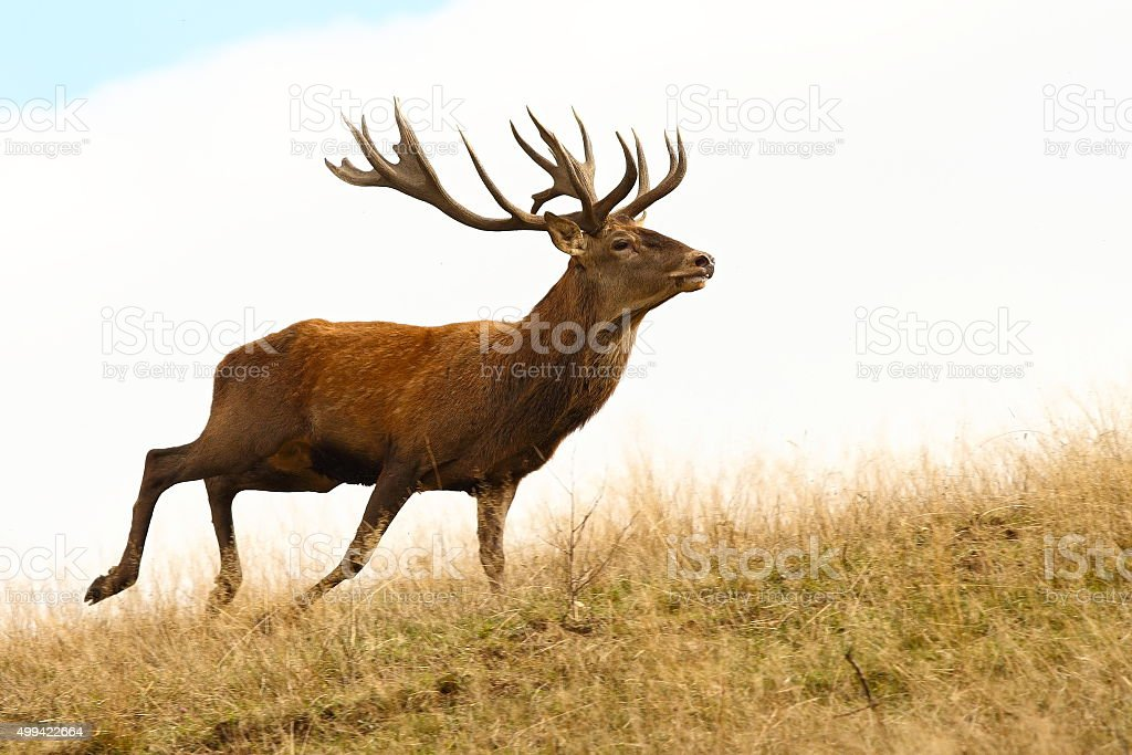 red deer stag running stock photo