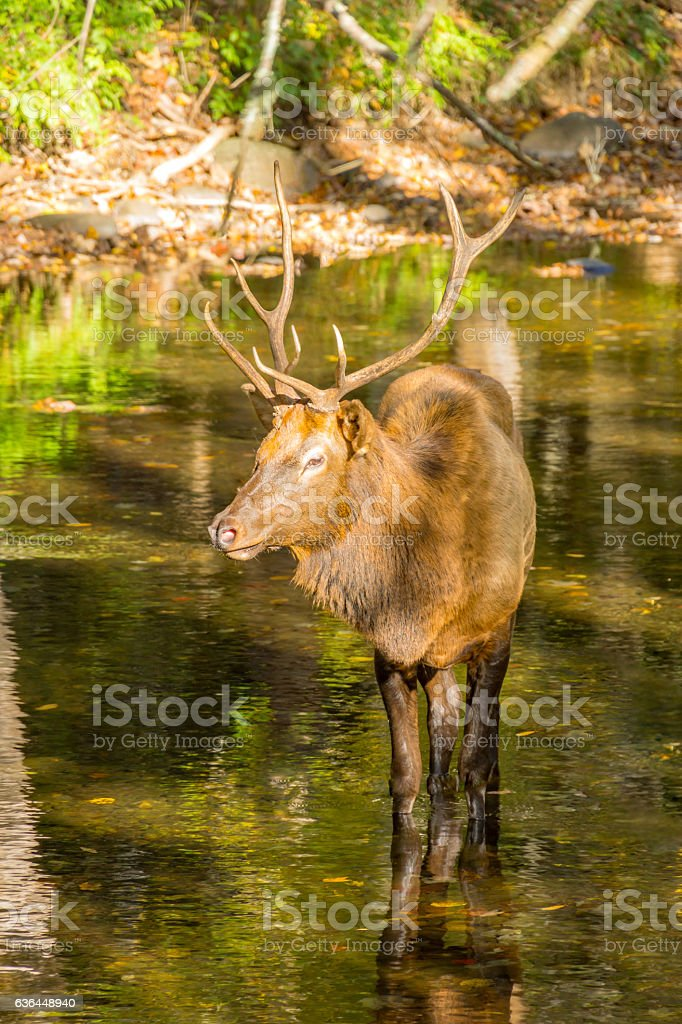 Red Deer Stag Standing in a Mountain Stream stock photo