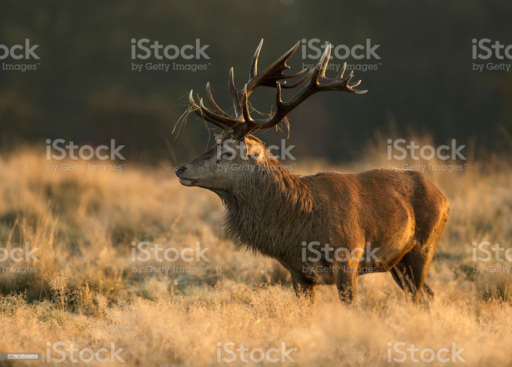Red deer stag, UK stock photo