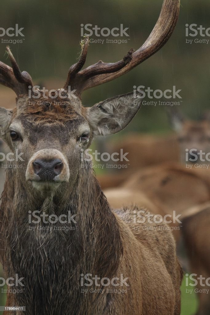 Red Deer Stag with Harem royalty-free stock photo