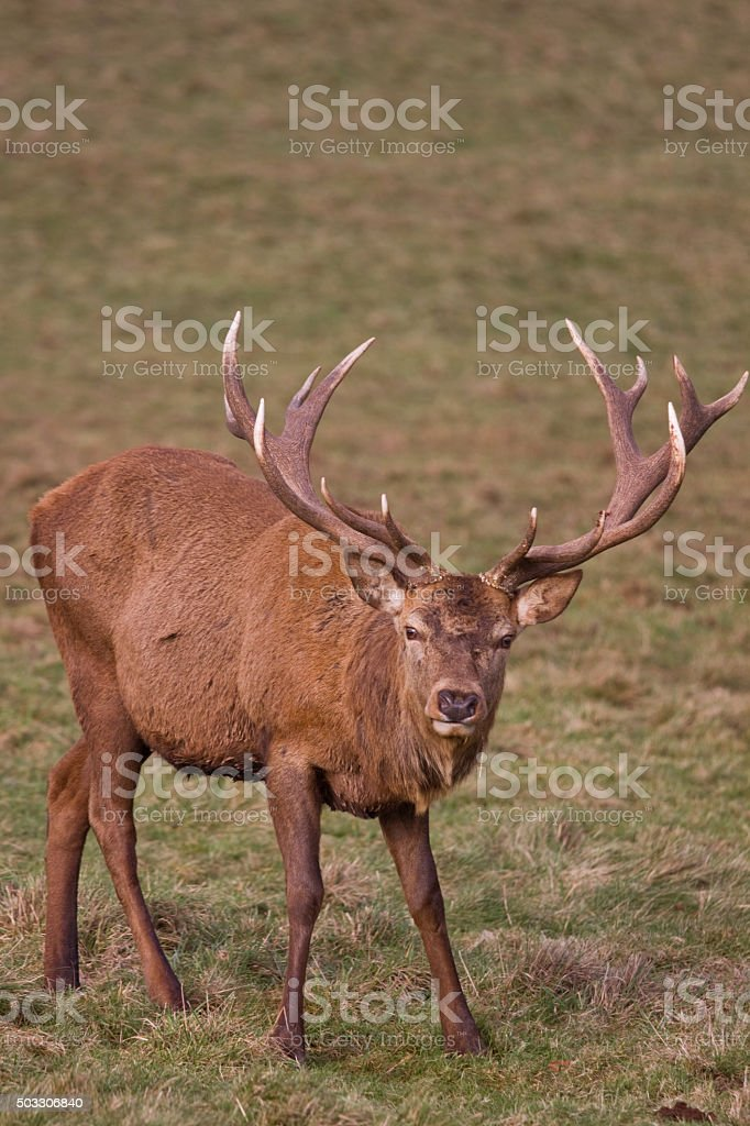 Red Deer stag with its fully formed winter antlers UK stock photo