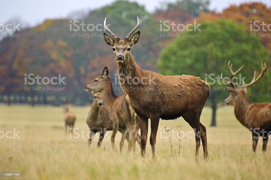 Red deer stags and does in Autumn Fall meadow royalty-free stock photo