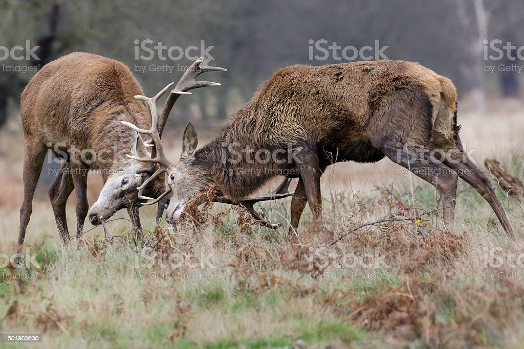 Red Deer (Cervus elaphus) stags dueling stock photo