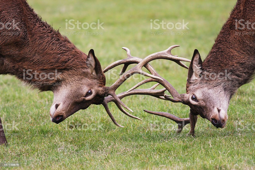 Rutting red deer stags fighting with antlers locked stock photo