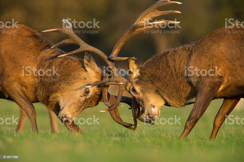 Red deer stags fighting stock photo