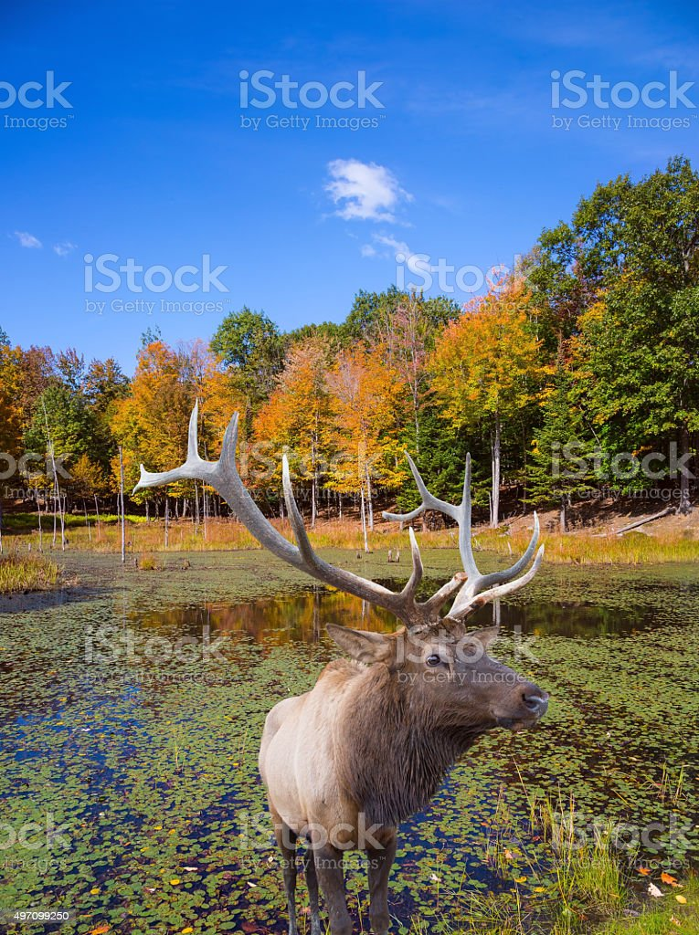Red deer with branching antlers stock photo