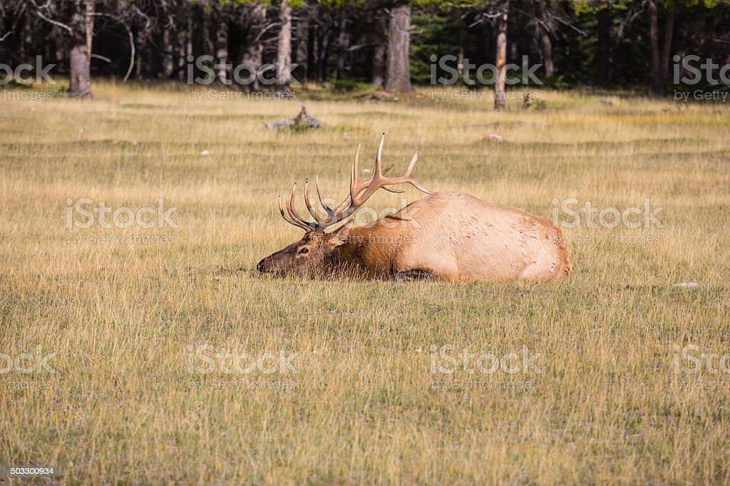 Red deer with branchy horns lies in a grass stock photo