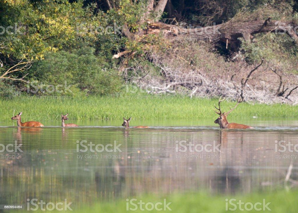 Red deers crossing river stock photo