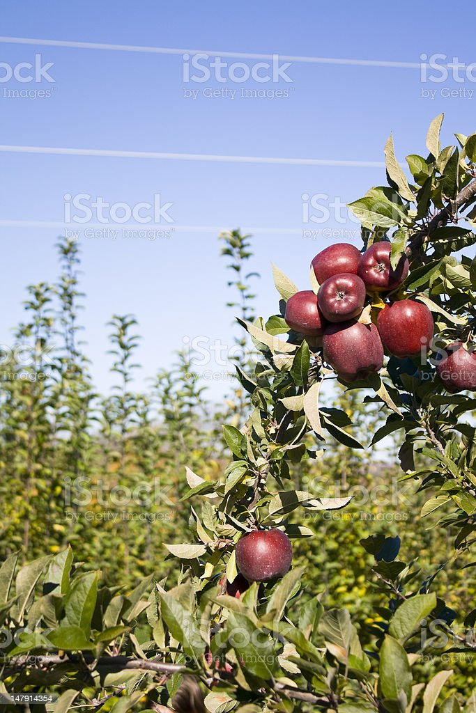 Red Delicious Apple on the Tree royalty-free stock photo