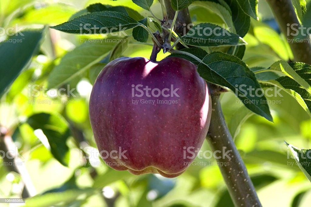 Red Delicious Apple royalty-free stock photo