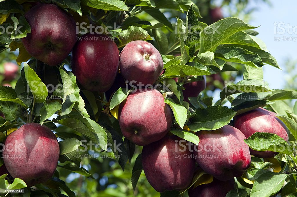 red delicious apple tree orchard royalty-free stock photo