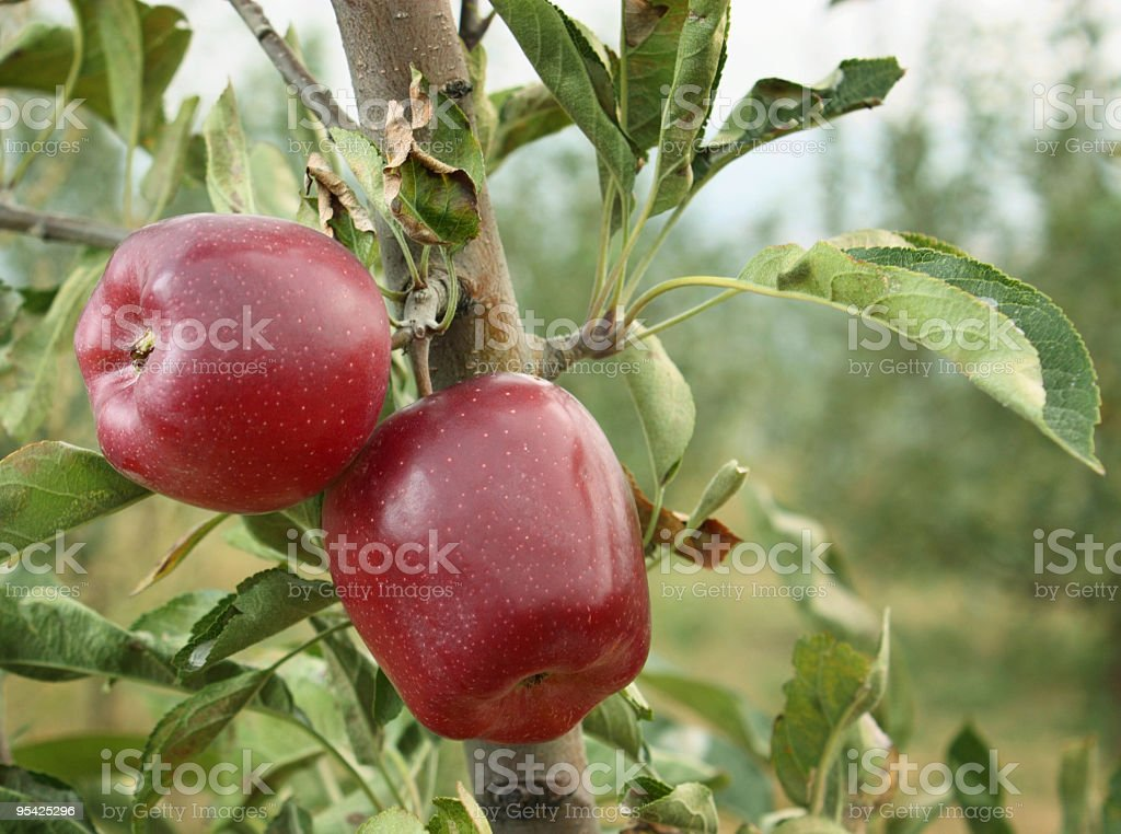 Red delicious apples in an orchard stock photo