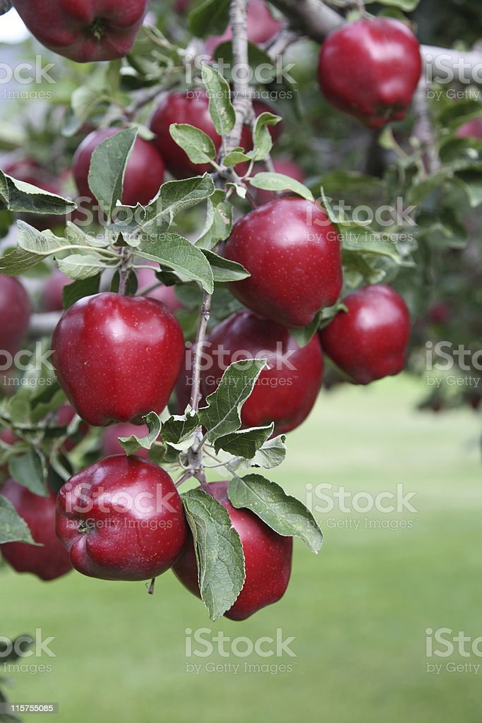 Red Delicious apples on a branch. royalty-free stock photo
